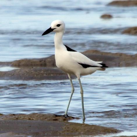Was bedeutet der Albumtitel? Falls es vom Vogel Dromas ardeola kommt, so sieht er aus und lebt in der Region des Roten Meeres, http://it.wikipedia.org/wiki/Dromas_ardeola